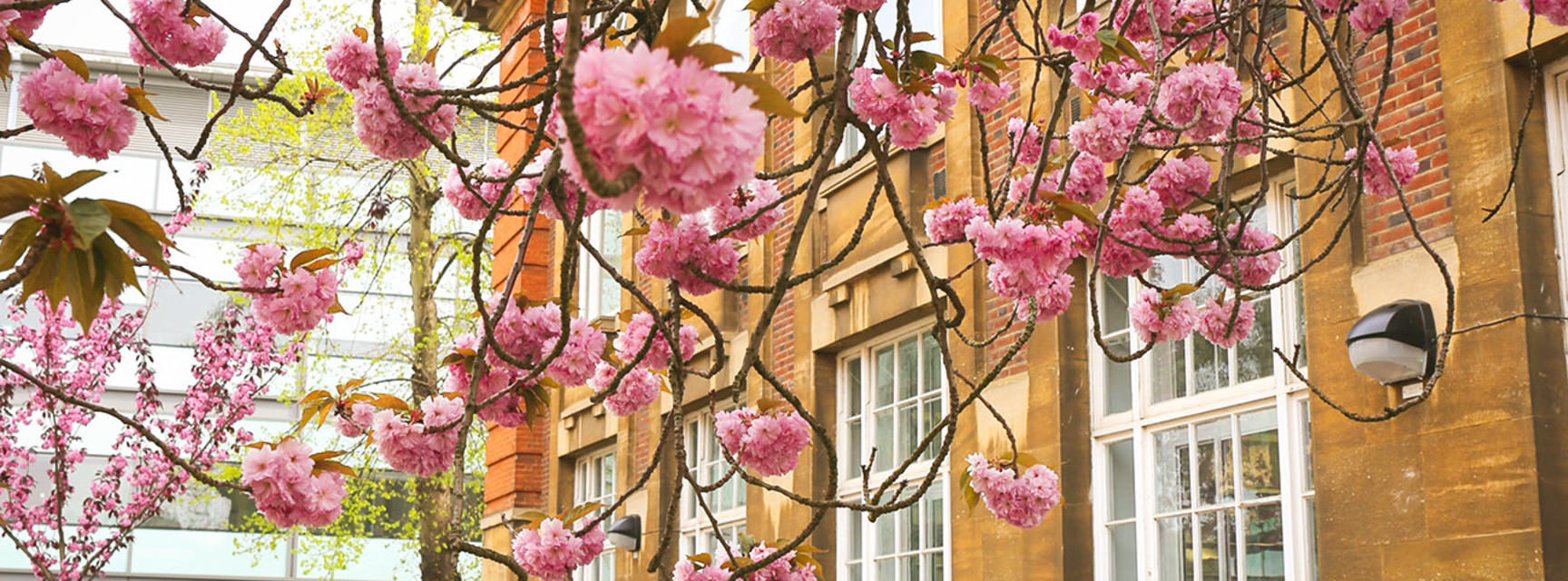 Photo of may blossom outside the Dyson Perrins Building