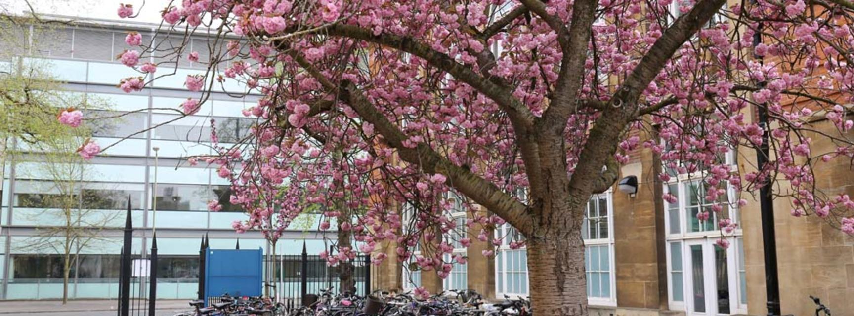 Photo of may blossom outside the Dyson Perrins Building with Chemistry Teaching Lab in background